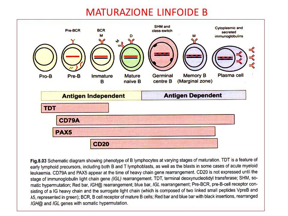 MATURAZIONE LINFOIDE B