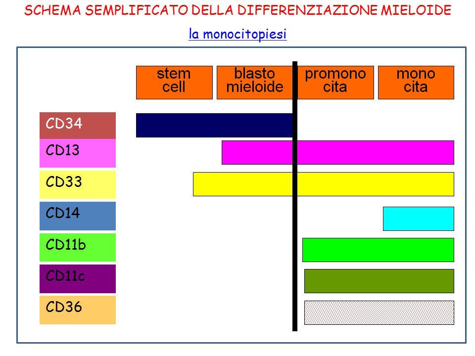 SCHEMA SEMPLIFICATO DELLA DIFFERENZIAZIONE MIELOIDE