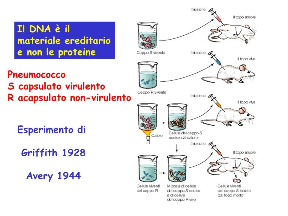 Il DNA è il materiale ereditario e non le proteine. Pneumococco. S capsulato virulento. R acapsulato non-virulento.