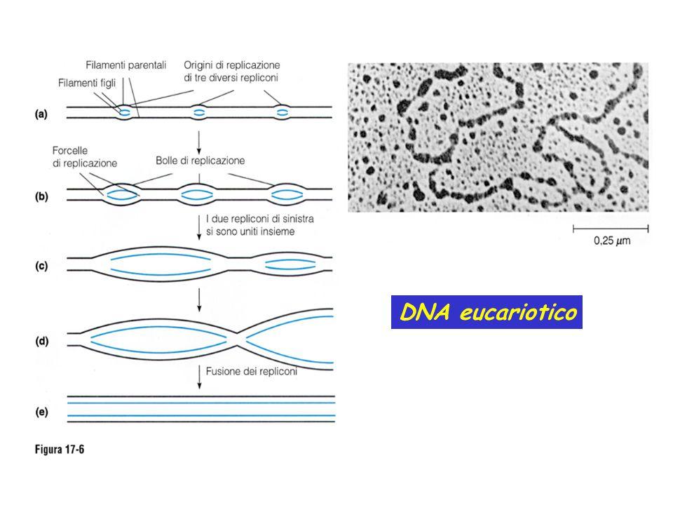 DNA eucariotico