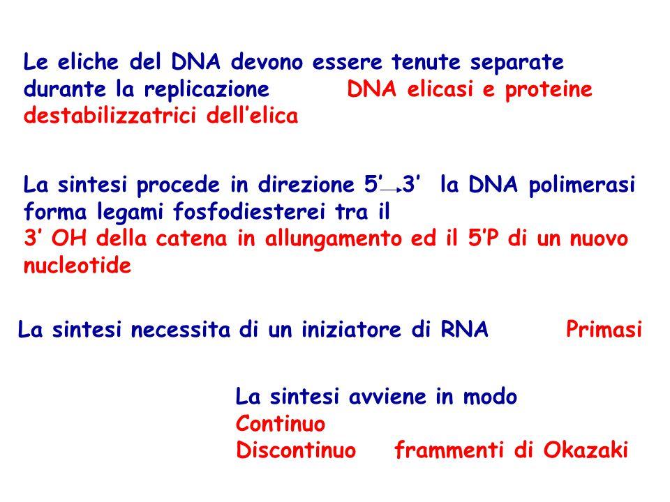 Le eliche del DNA devono essere tenute separate durante la replicazione DNA elicasi e proteine destabilizzatrici dell'elica