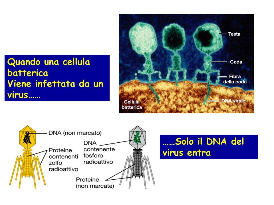 Quando una cellula batterica