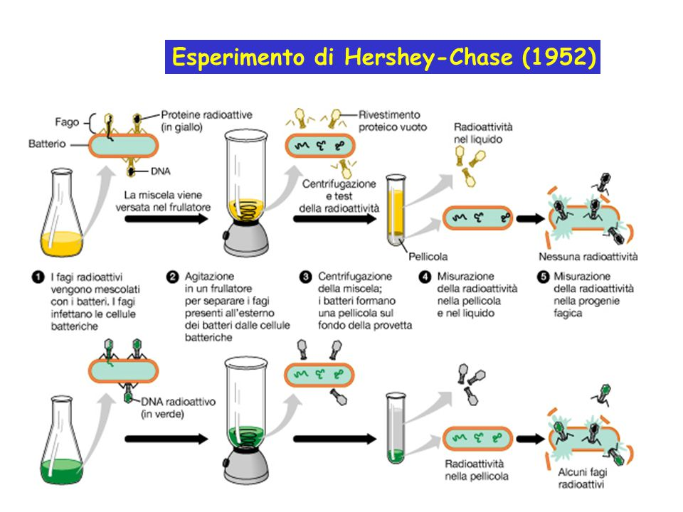 Esperimento di Hershey-Chase (1952)