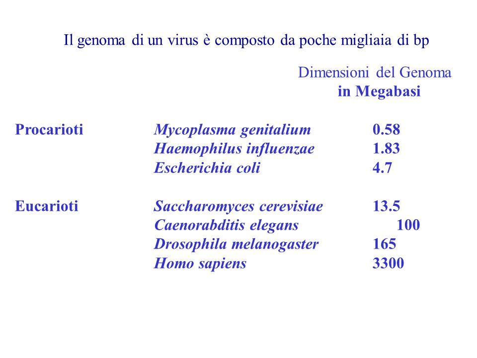 Dimensioni del Genoma. in Megabasi. Procarioti Mycoplasma genitalium 0.58. Haemophilus influenzae 1.83.