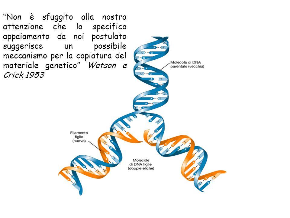 Non è sfuggito alla nostra attenzione che lo specifico appaiamento da noi postulato suggerisce un possibile meccanismo per la copiatura del materiale genetico Watson e Crick 1953