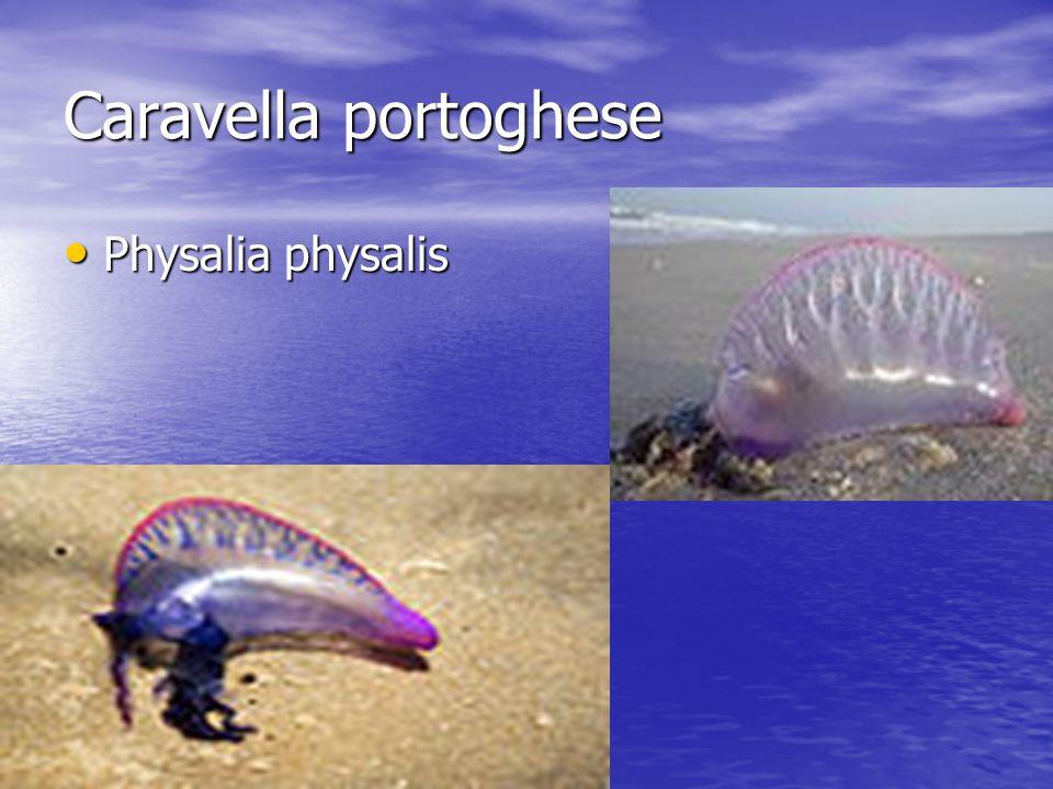 Caravella portoghese Physalia physalis