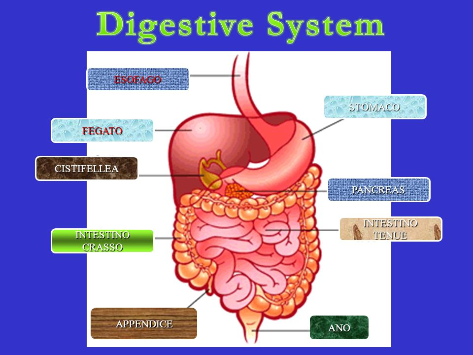 Digestive System ESOFAGO STOMACO FEGATO CISTIFELLEA PANCREAS