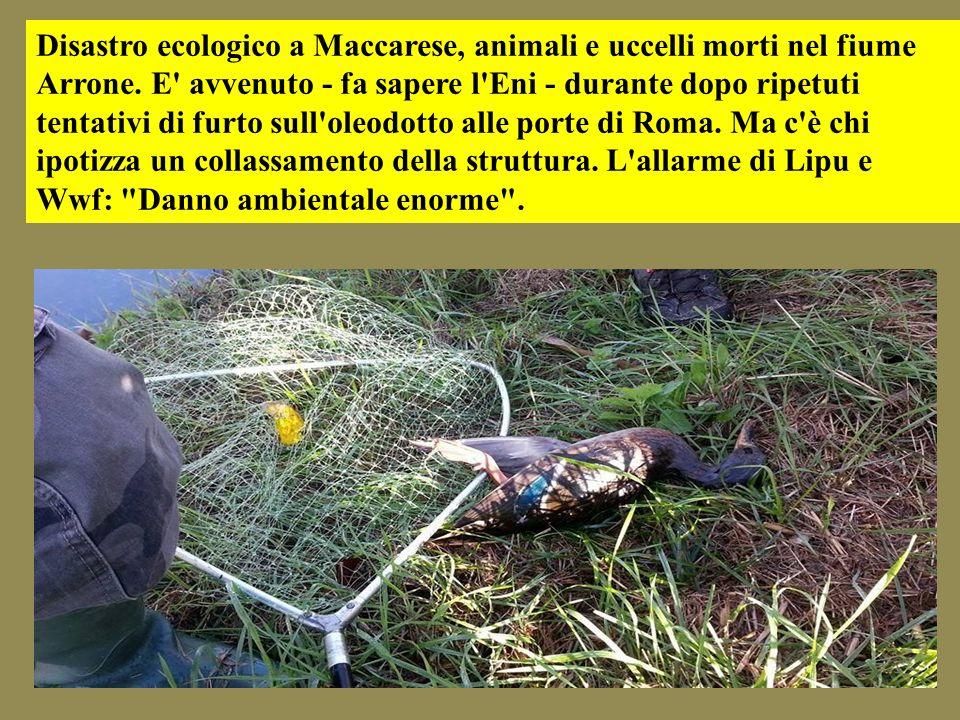 Disastro ecologico a Maccarese, animali e uccelli morti nel fiume Arrone.