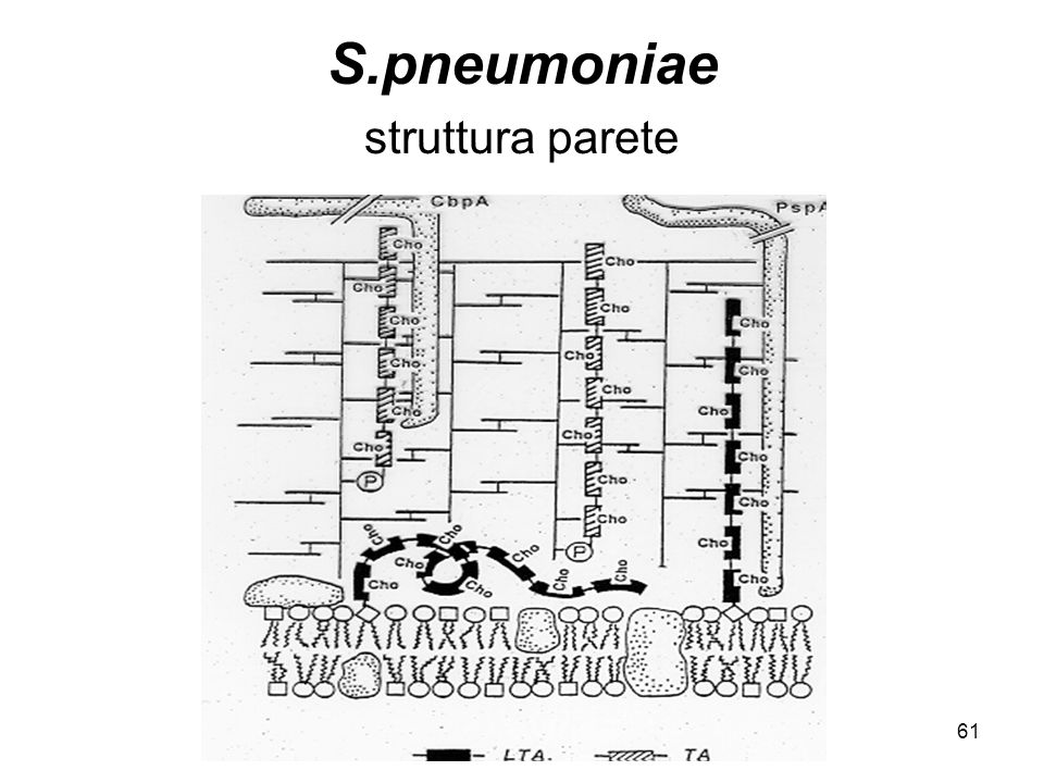 S.pneumoniae struttura parete