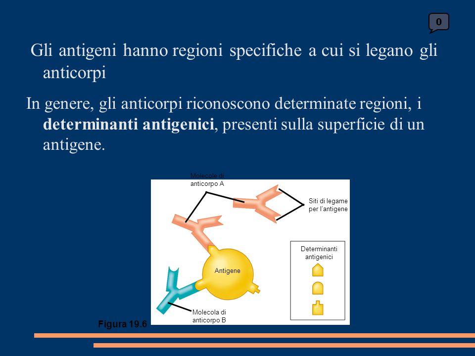 Gli antigeni hanno regioni specifiche a cui si legano gli anticorpi