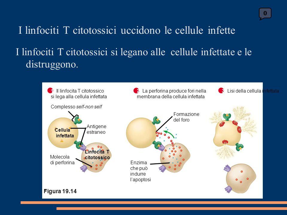 I linfociti T citotossici uccidono le cellule infette