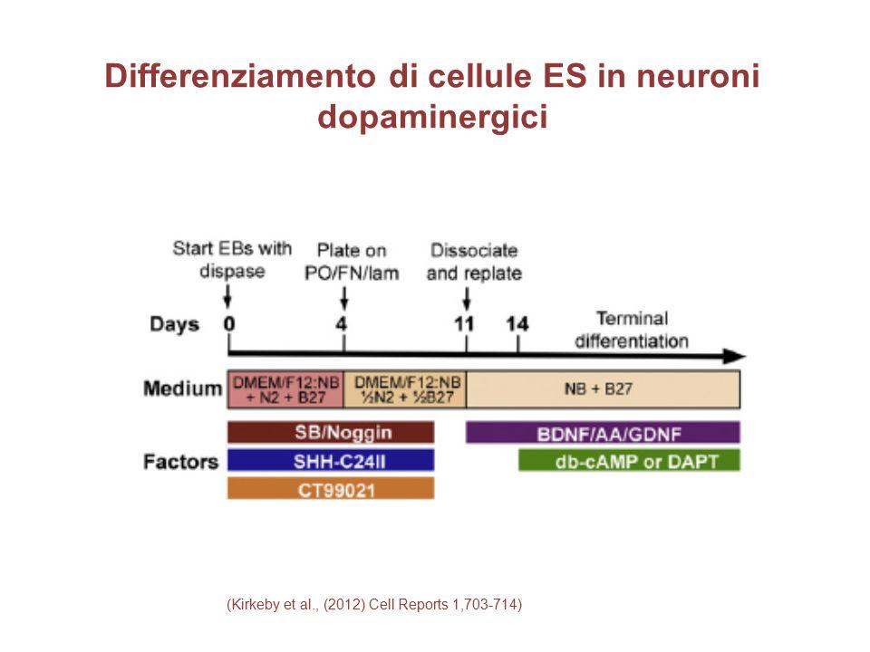 Differenziamento di cellule ES in neuroni dopaminergici