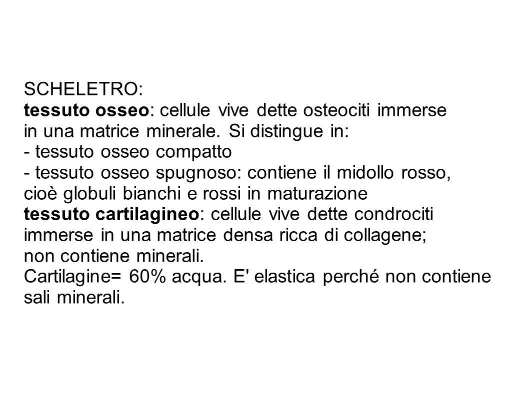 SCHELETRO: tessuto osseo: cellule vive dette osteociti immerse. in una matrice minerale. Si distingue in: