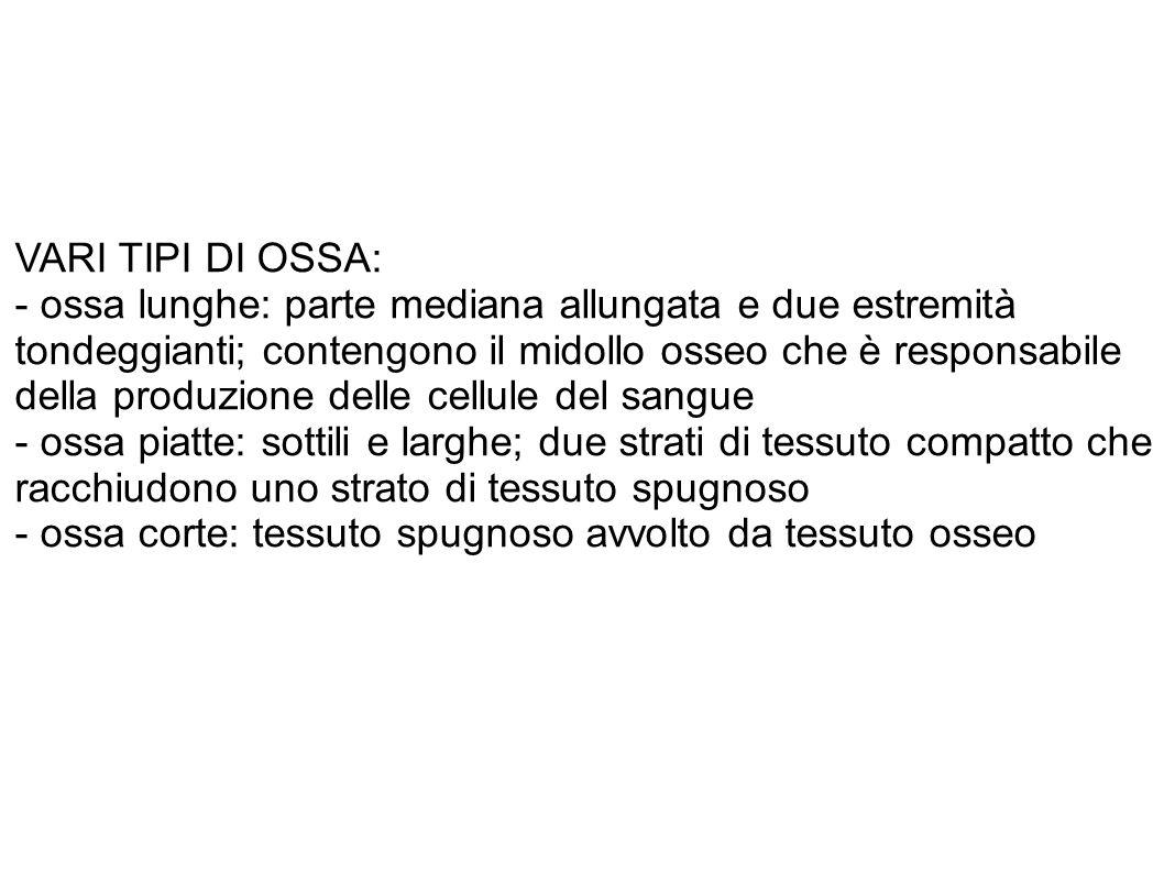 VARI TIPI DI OSSA: - ossa lunghe: parte mediana allungata e due estremità.