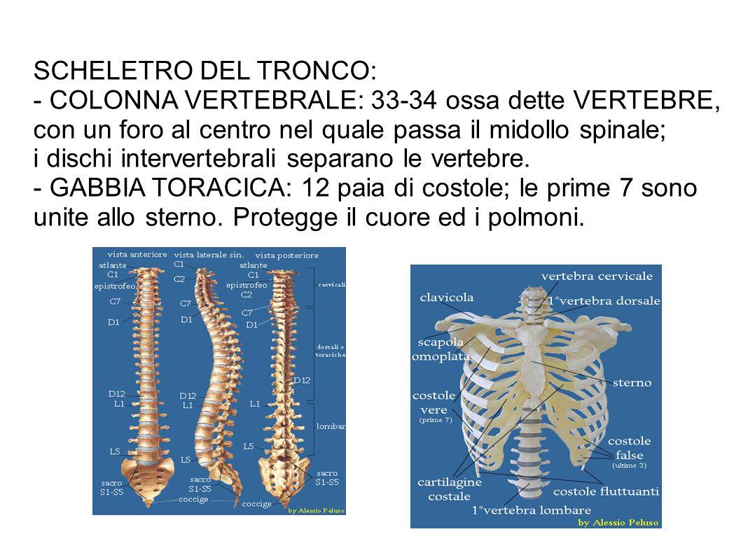 SCHELETRO DEL TRONCO: - COLONNA VERTEBRALE: 33-34 ossa dette VERTEBRE, con un foro al centro nel quale passa il midollo spinale;