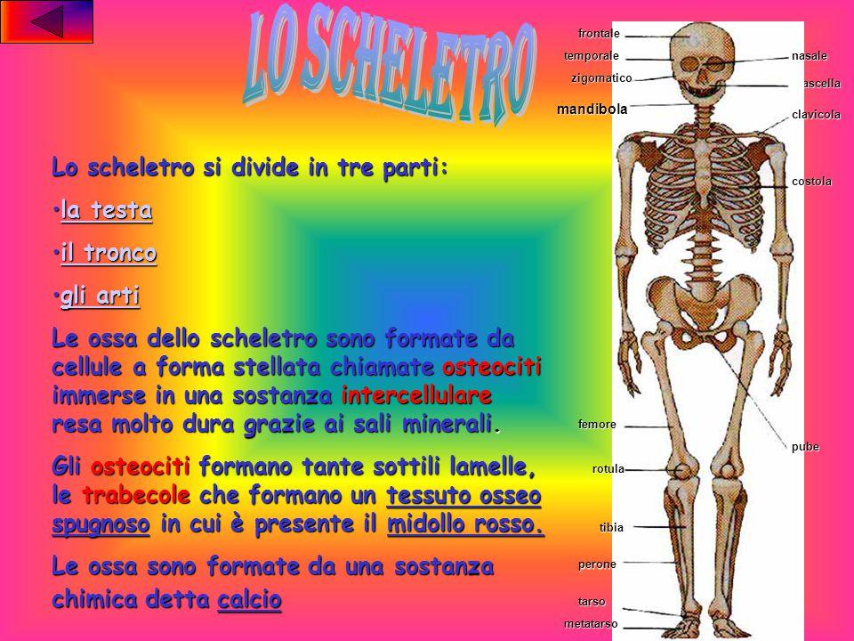 lo scheletro Lo scheletro si divide in tre parti: la testa il tronco