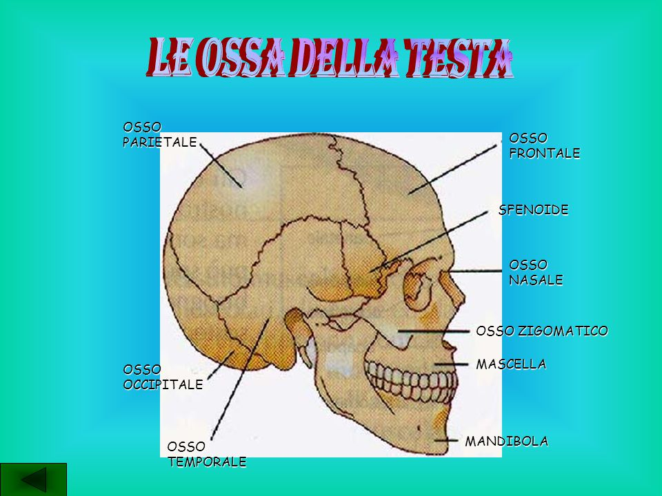 LE OSSA DELLA TESTA OSSO PARIETALE OSSO FRONTALE SFENOIDE OSSO NASALE