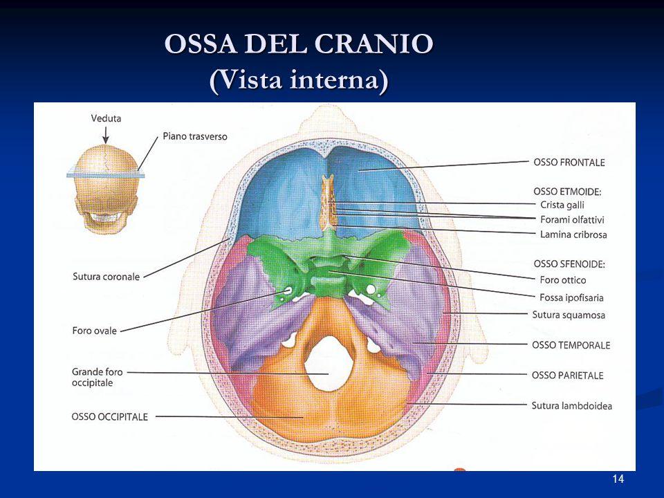 OSSA DEL CRANIO (Vista interna)