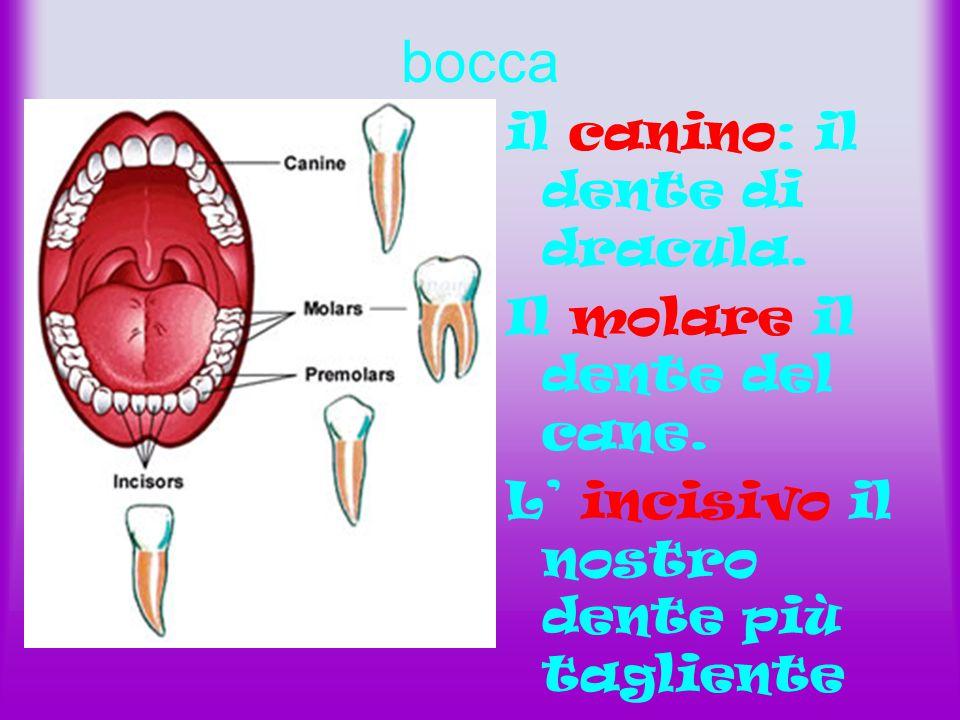 bocca il canino: il dente di dracula. Il molare il dente del cane. L' incisivo il nostro dente più tagliente