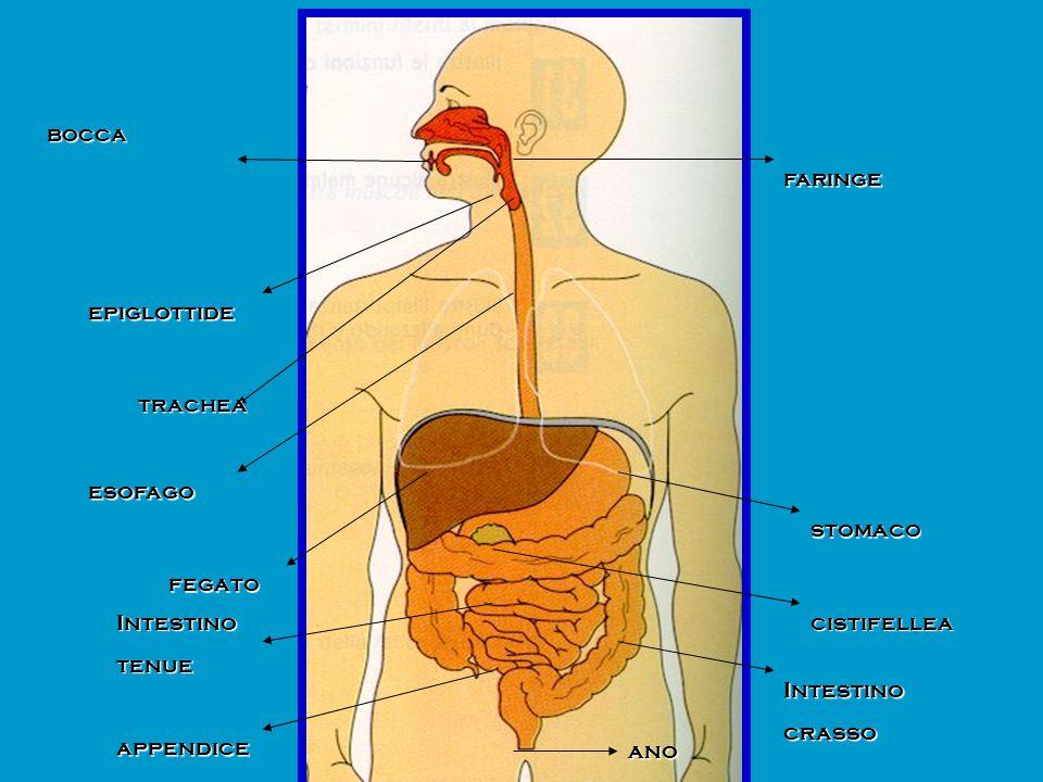 bocca faringe. epiglottide. trachea. esofago. stomaco. fegato. Intestino. tenue. cistifellea.