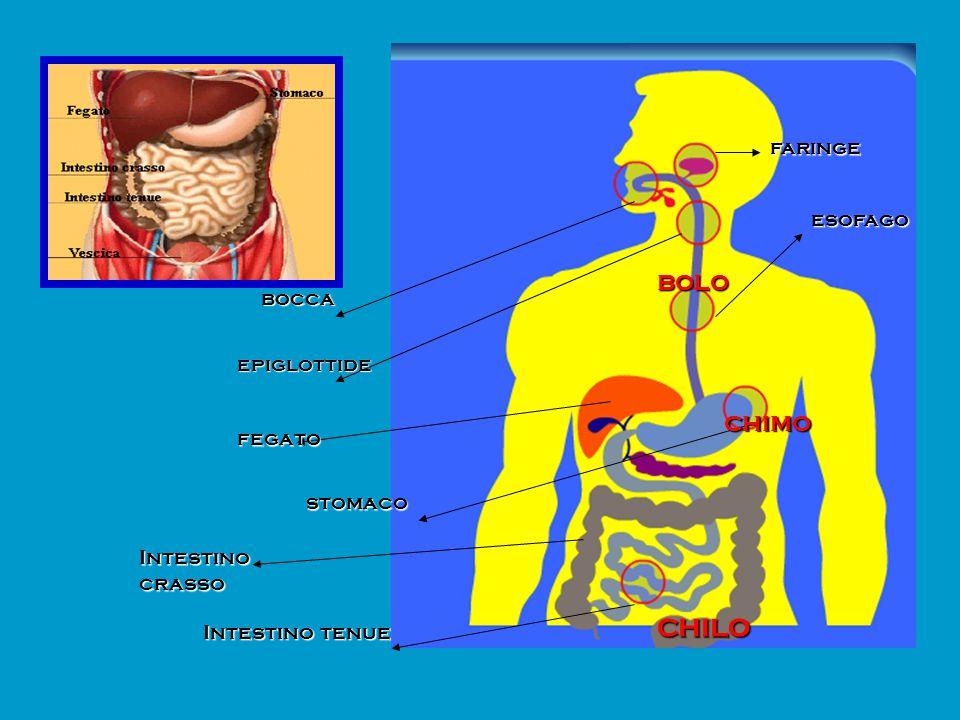 chilo bolo chimo faringe esofago bocca epiglottide fegato stomaco