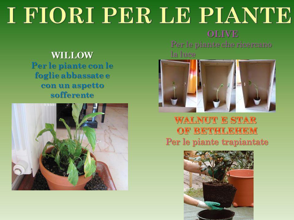 Per le piante con le foglie abbassate e con un aspetto sofferente