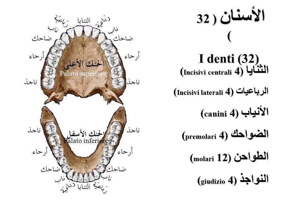 الأسنان ( 32 ) I denti (32) الثنايا (4 (Incisivi centrali