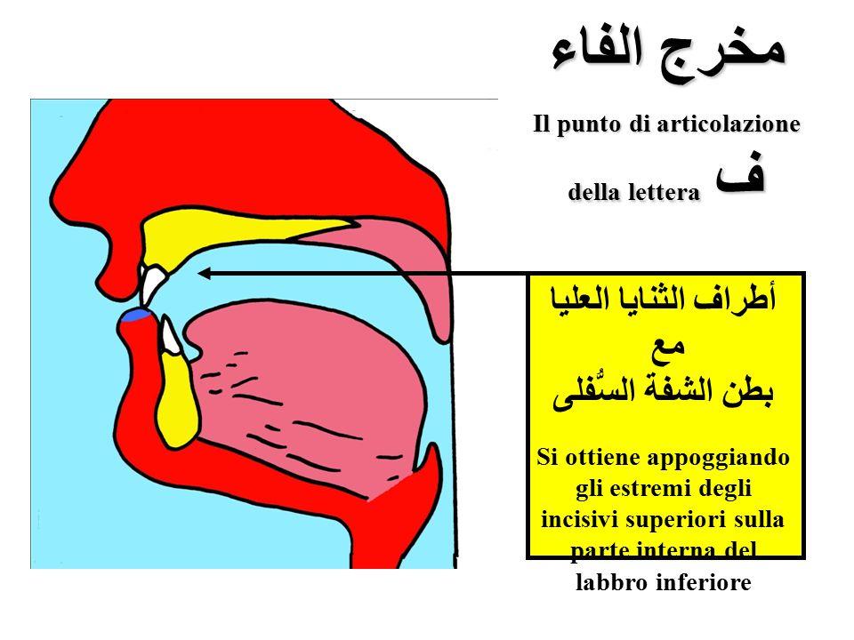 Il punto di articolazione della lettera ف أطراف الثنايا العليا مع