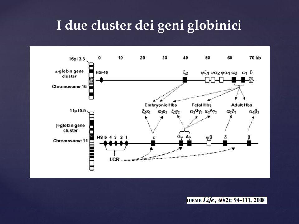 I due cluster dei geni globinici