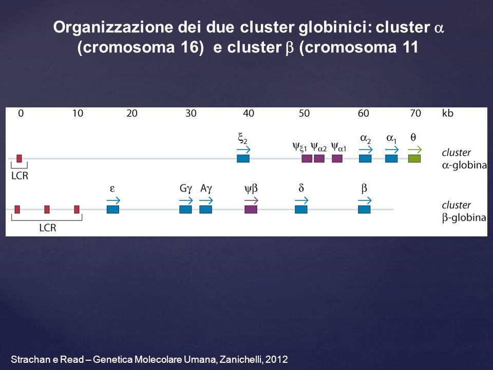 Organizzazione dei due cluster globinici: cluster a (cromosoma 16) e cluster b (cromosoma 11