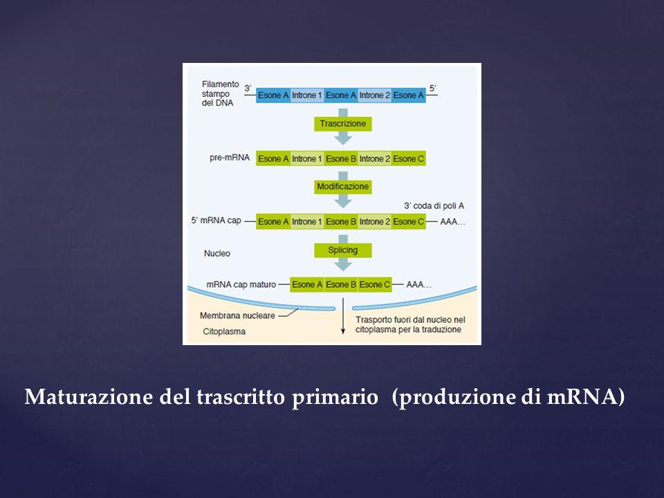 Maturazione del trascritto primario (produzione di mRNA)