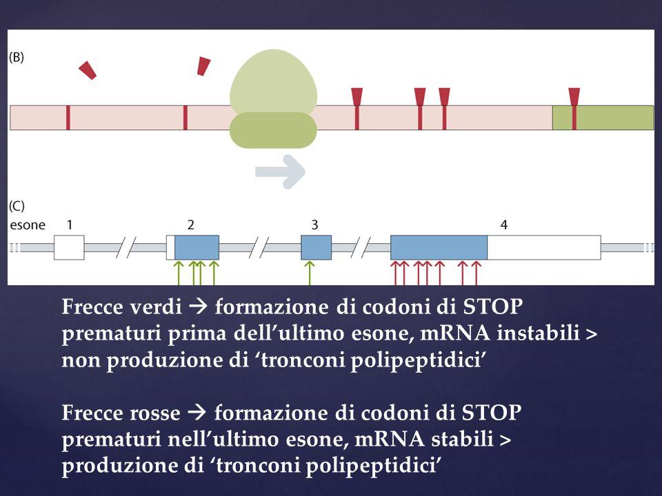 Frecce verdi  formazione di codoni di STOP prematuri prima dell'ultimo esone, mRNA instabili > non produzione di 'tronconi polipeptidici'