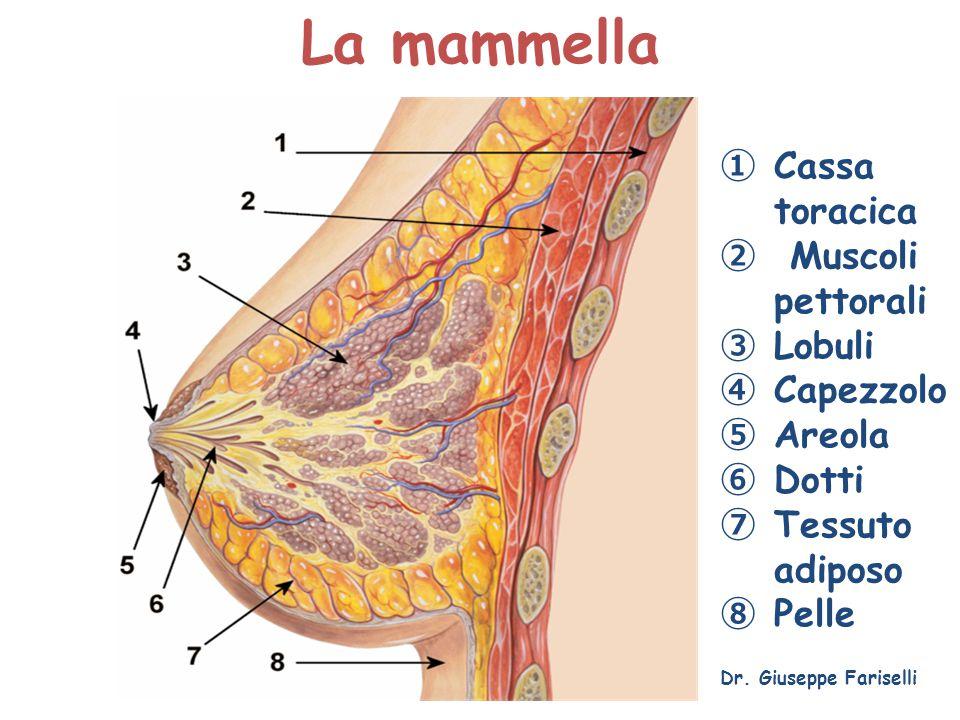 Cassa toracica Muscoli pettorali Lobuli Capezzolo Areola Dotti