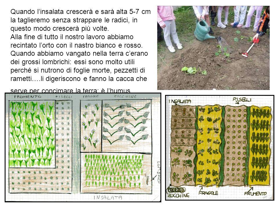 Quando l'insalata crescerà e sarà alta 5-7 cm la taglieremo senza strappare le radici, in questo modo crescerà più volte.