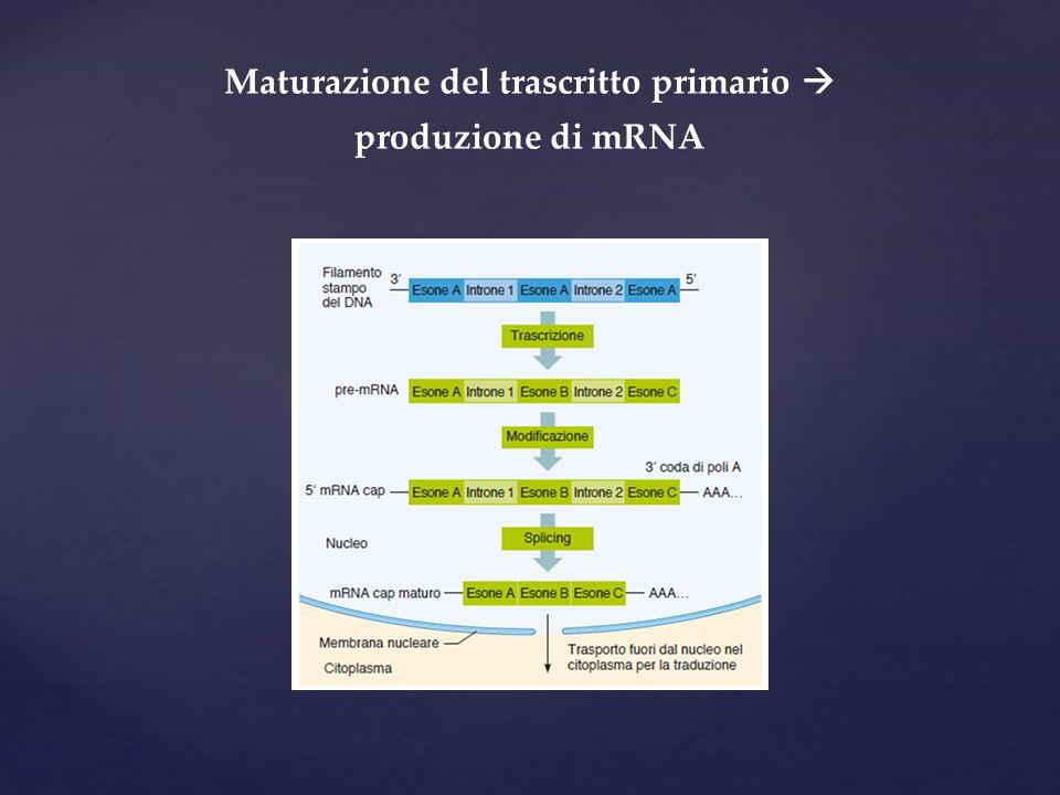 Maturazione del trascritto primario  produzione di mRNA