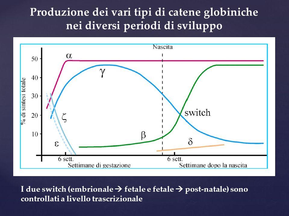 Produzione dei vari tipi di catene globiniche nei diversi periodi di sviluppo