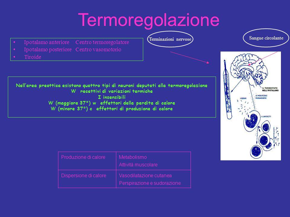 Termoregolazione Ipotalamo anteriore Centro termoregolatore
