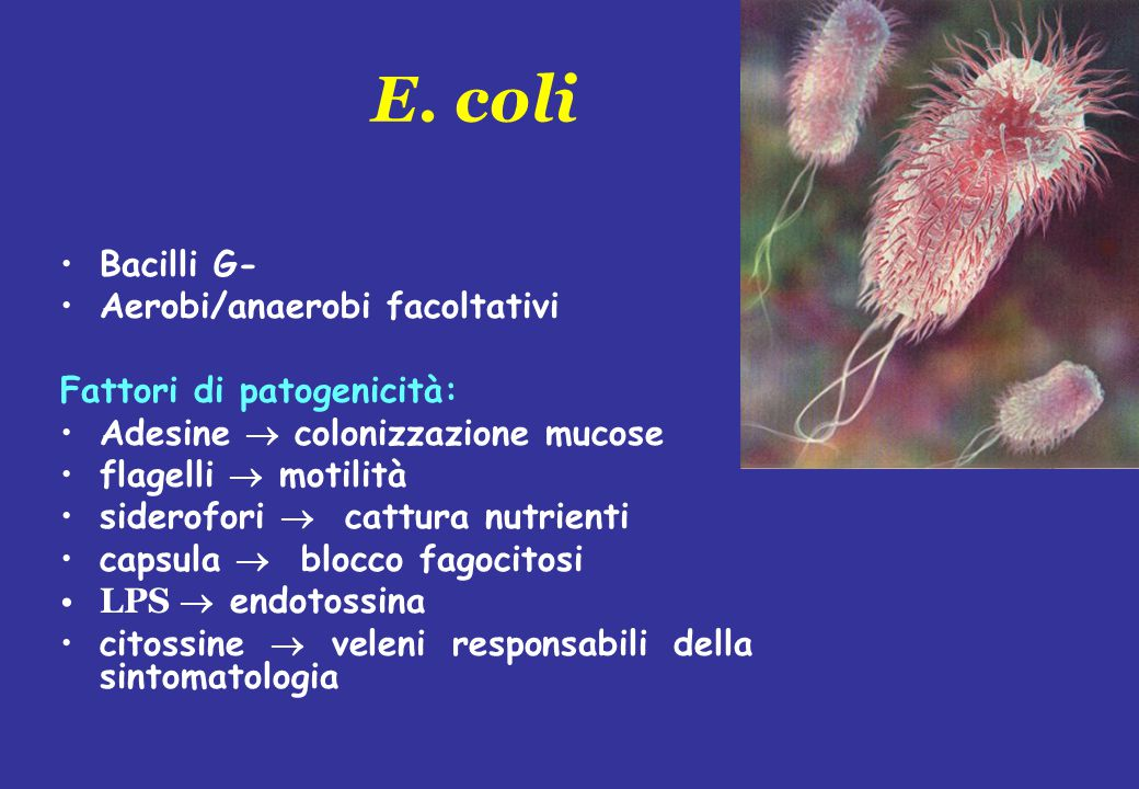 E. coli Bacilli G- Aerobi/anaerobi facoltativi