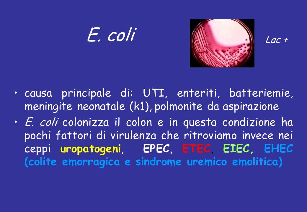 E. coli Lac + causa principale di: UTI, enteriti, batteriemie, meningite neonatale (k1), polmonite da aspirazione.