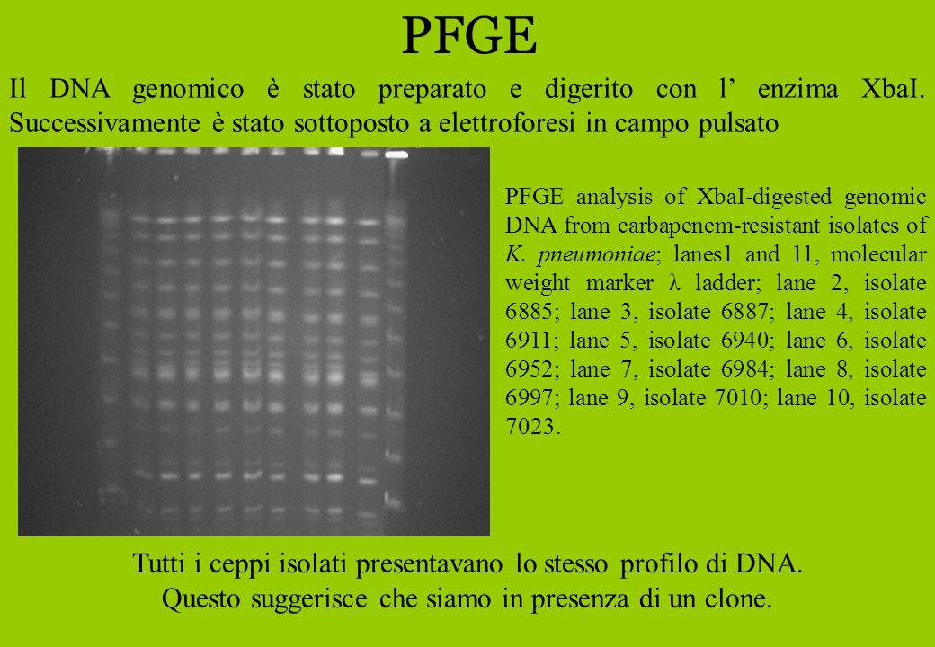 PFGE Il DNA genomico è stato preparato e digerito con l' enzima XbaI. Successivamente è stato sottoposto a elettroforesi in campo pulsato.
