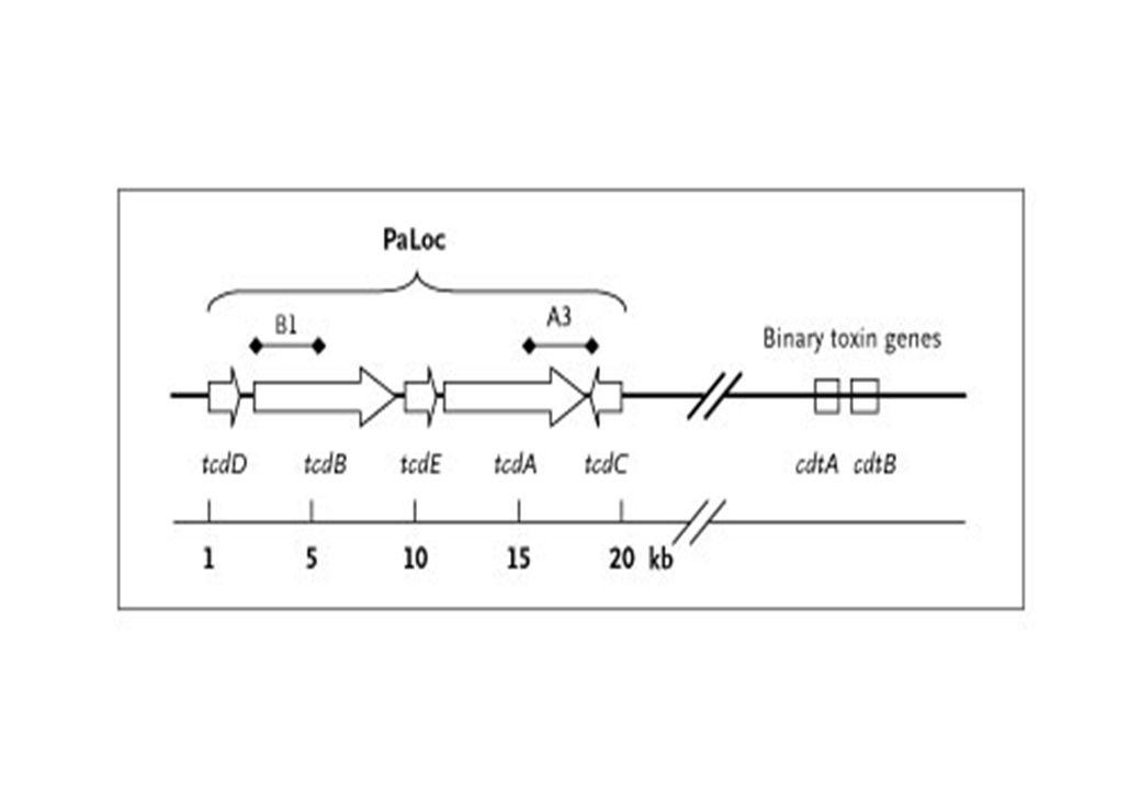 In questa immagine viene riportata l'organizzazione dei geni per le tossine descritte in Clostridium difficile.
