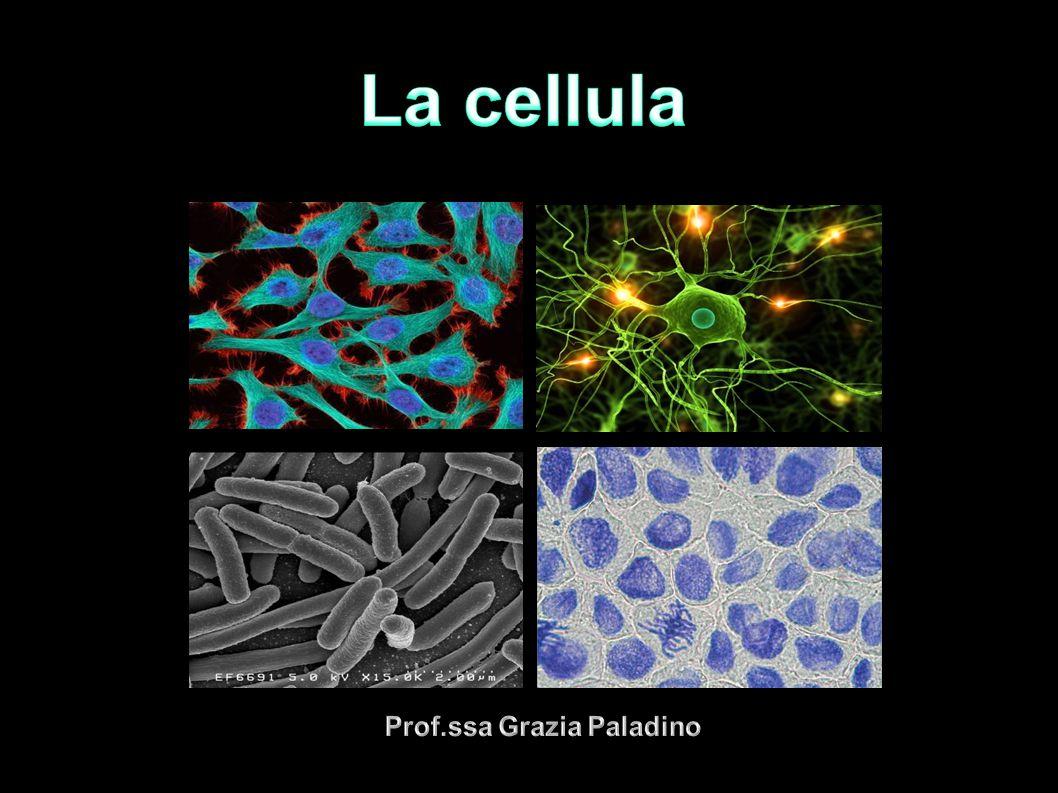 Prof.ssa Grazia Paladino