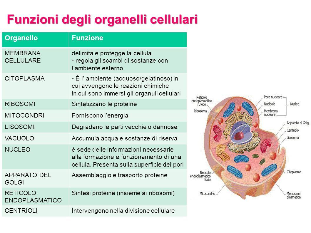 Funzioni degli organelli cellulari