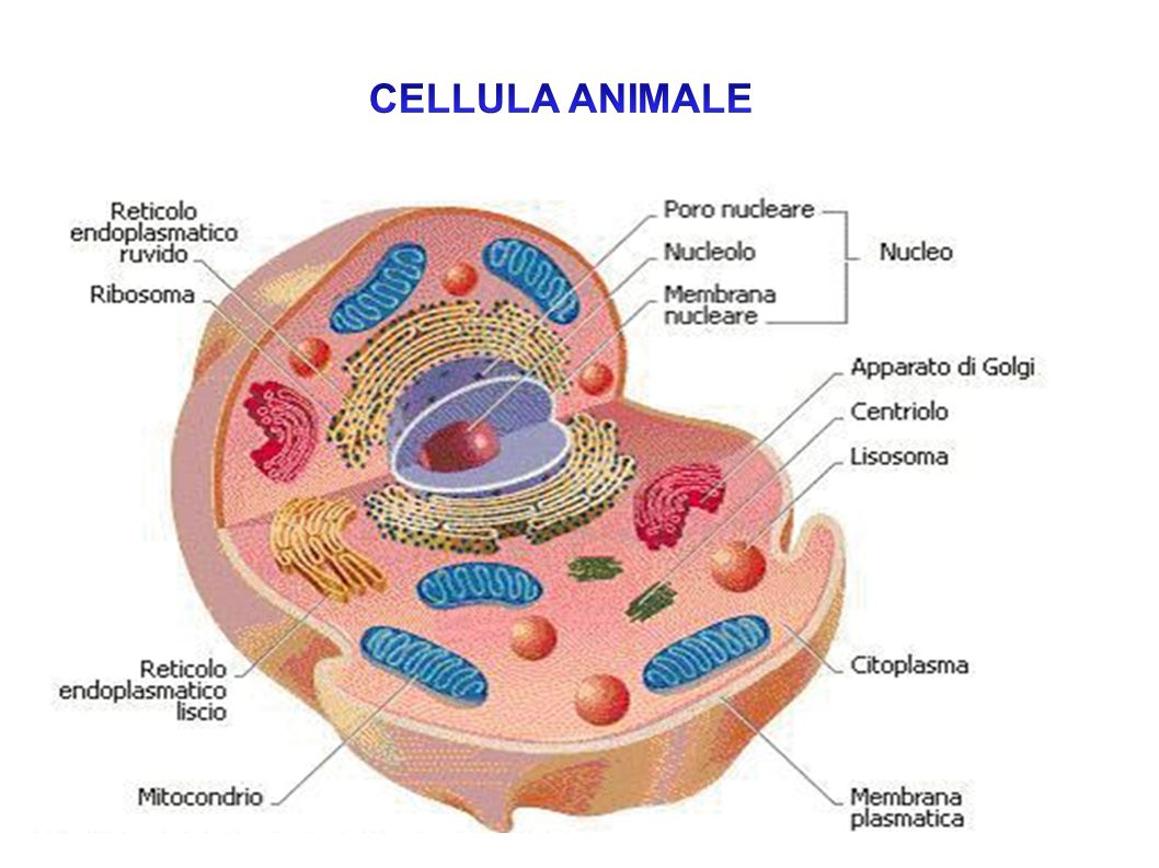 CELLULA ANIMALE