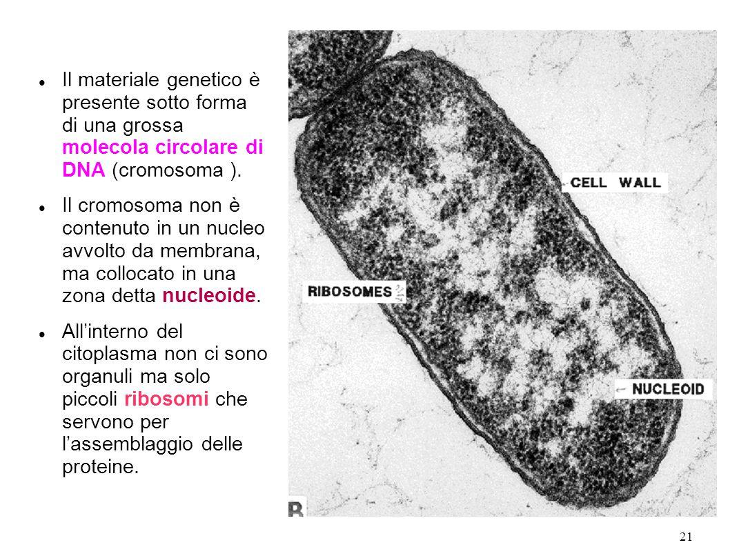 Il materiale genetico è presente sotto forma di una grossa molecola circolare di DNA (cromosoma ).