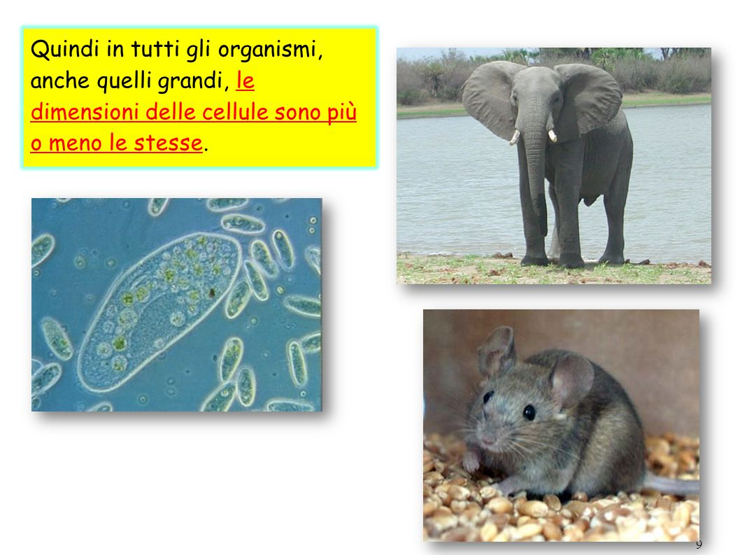 Quindi in tutti gli organismi, anche quelli grandi, le dimensioni delle cellule sono più o meno le stesse.