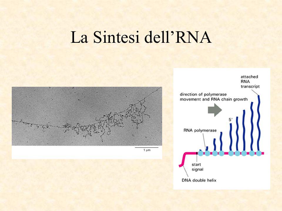 La Sintesi dell'RNA