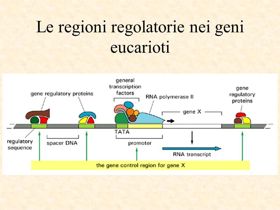 Le regioni regolatorie nei geni eucarioti