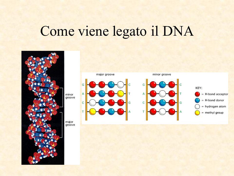 Come viene legato il DNA