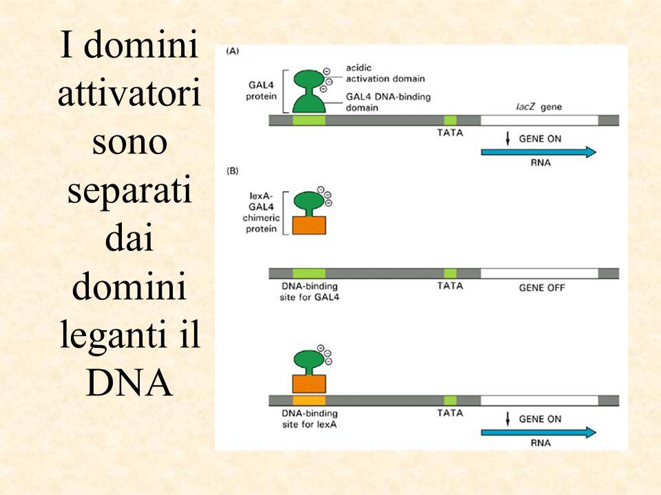 I domini attivatori sono separati dai domini leganti il DNA